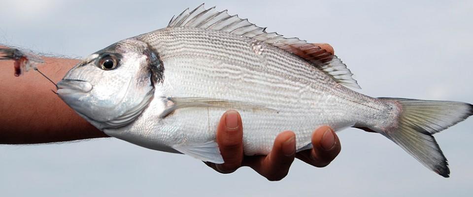Tecnica di pesca alle orate